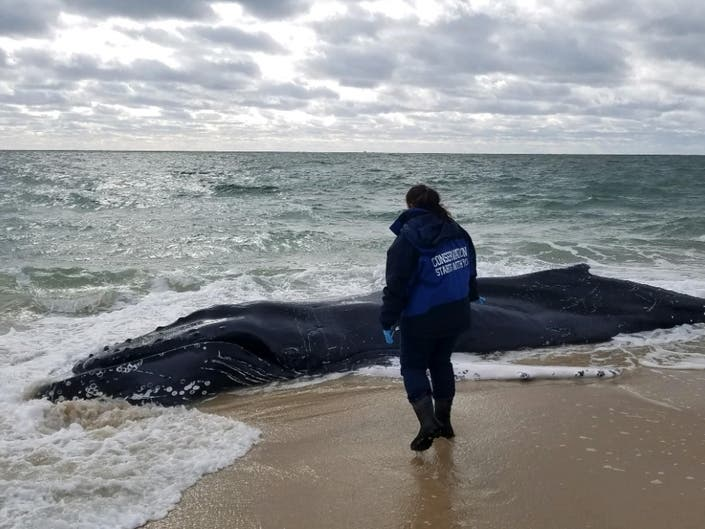 Dead Humpback Whale Found In Southampton Surf