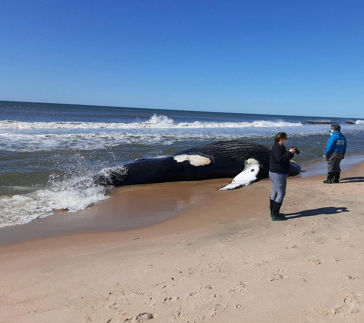 'Suspect Bruising' Found On Dead Whale Washed Up In Amagansett