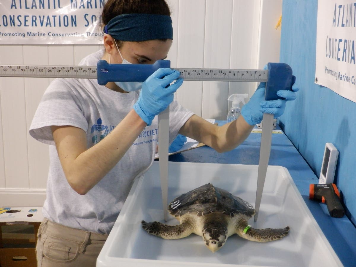 11 Endangered Stunned Cold Sea Turtles Get New Chance At Life