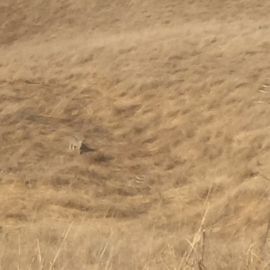 Beautiful Bobcat Spotted At Pleasanton Ridge: Photo Of The Week