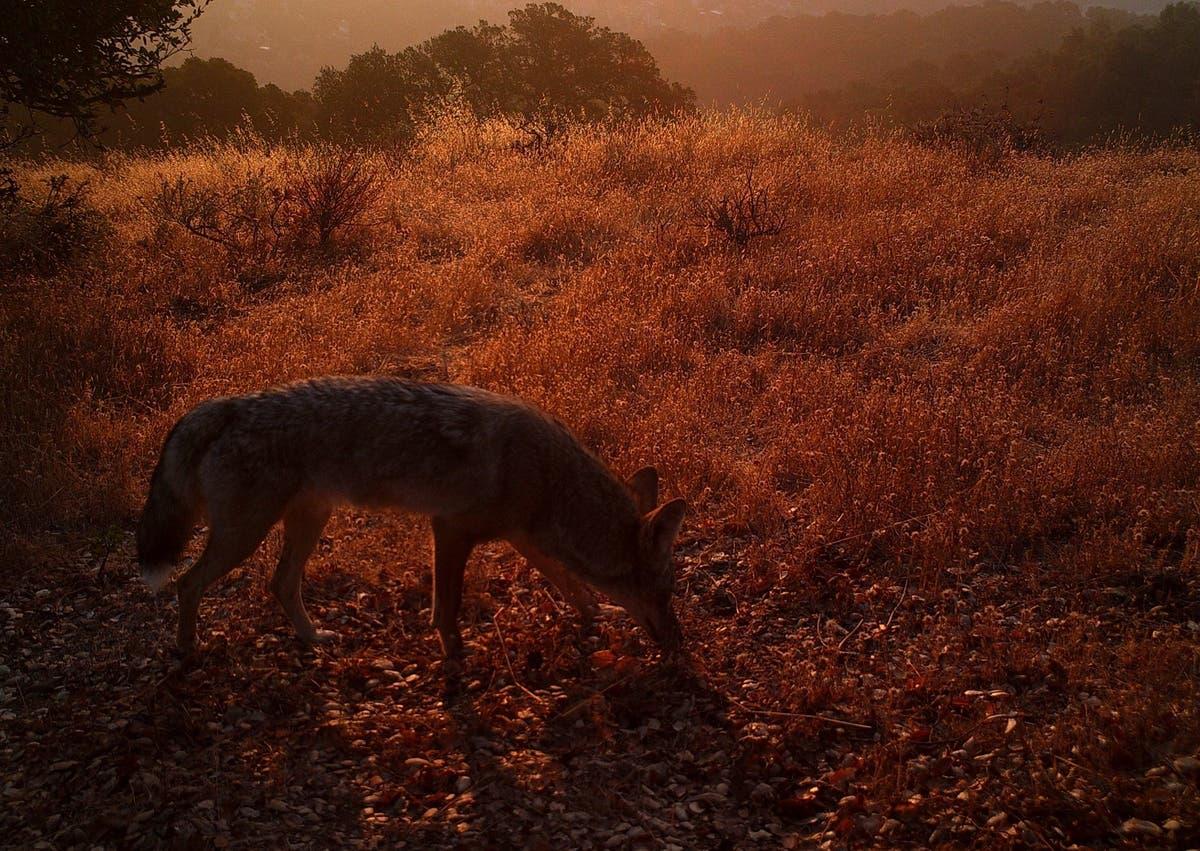 Majestic' Coyote On Pleasanton Ridge: Photo Of The Week | Pleasanton