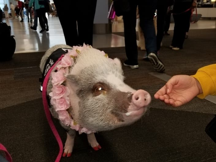 Pilot, 99, To Fly Warhawk   Airport Therapy Pig: Saturday Smiles