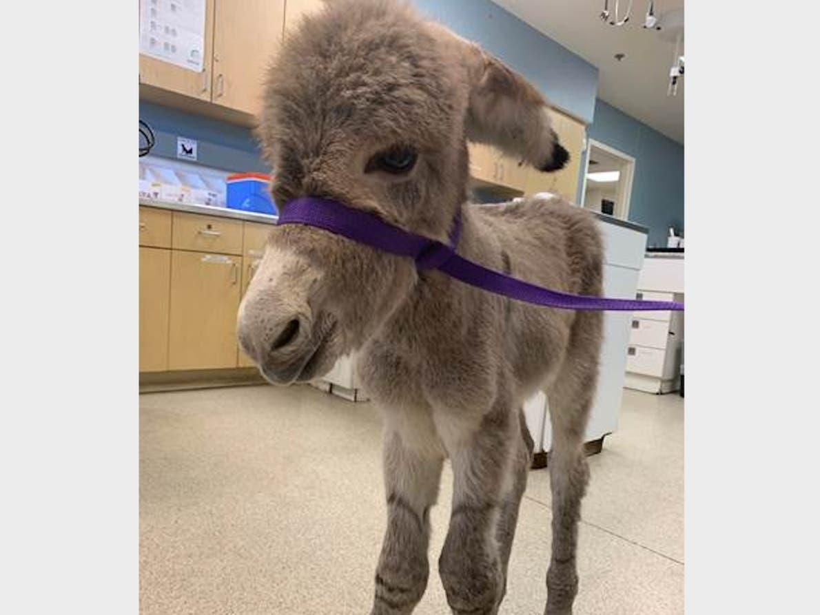 64f64a954 Days-Old Injured Baby Burro Found Wandering In RivCo, Rescued ...