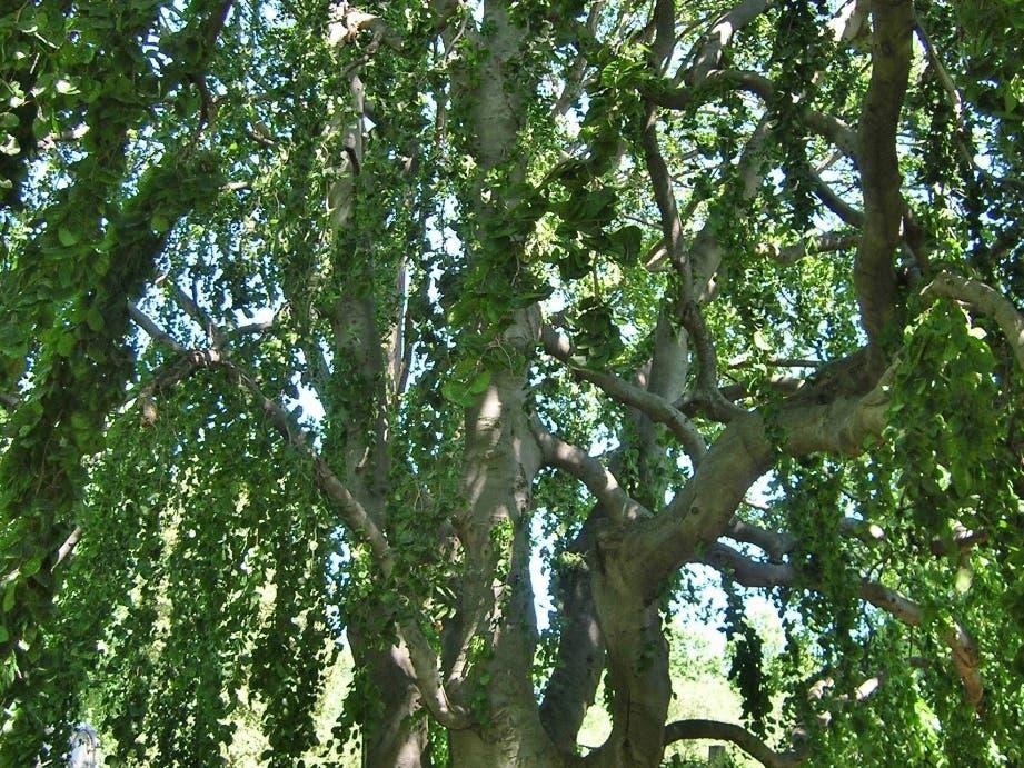 Cedar Hill Cemetery Foundation Offers Free Tree Walk