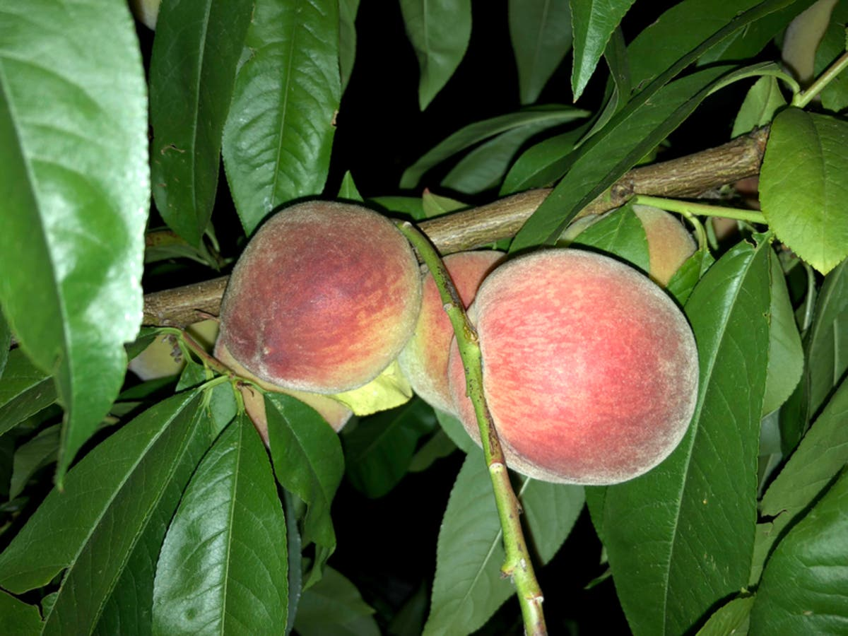 Backyard Fruit Could Be Confiscated In Dublin | Dublin, CA Patch