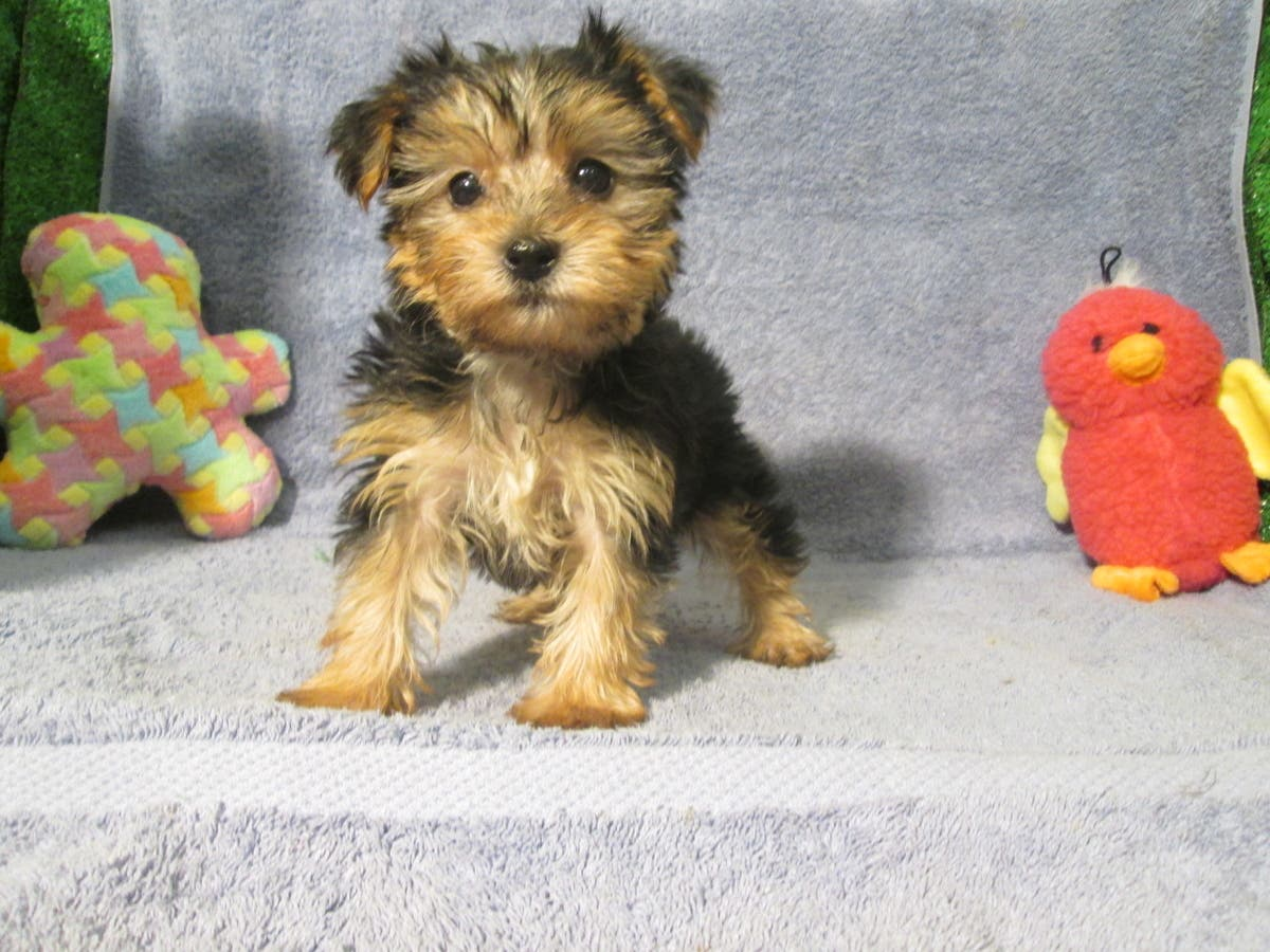 Breeders Club Of America Puppies For Sale In New Jersey