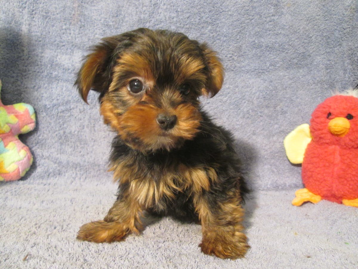 Breeders Club of America - Puppies For Sale in New Jersey