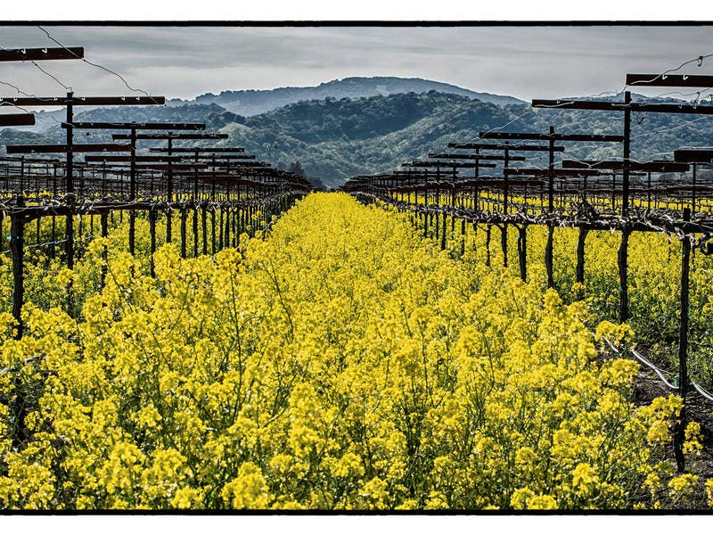 Fields Of Gold In Bloom: Solano County Photo Of The Week