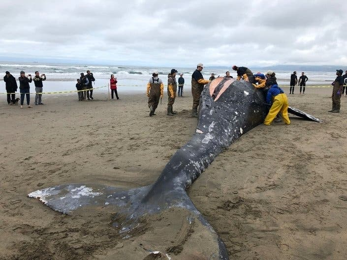 Gray Whales Cause Of Death; Preparing For Fire Outages: Patch PM