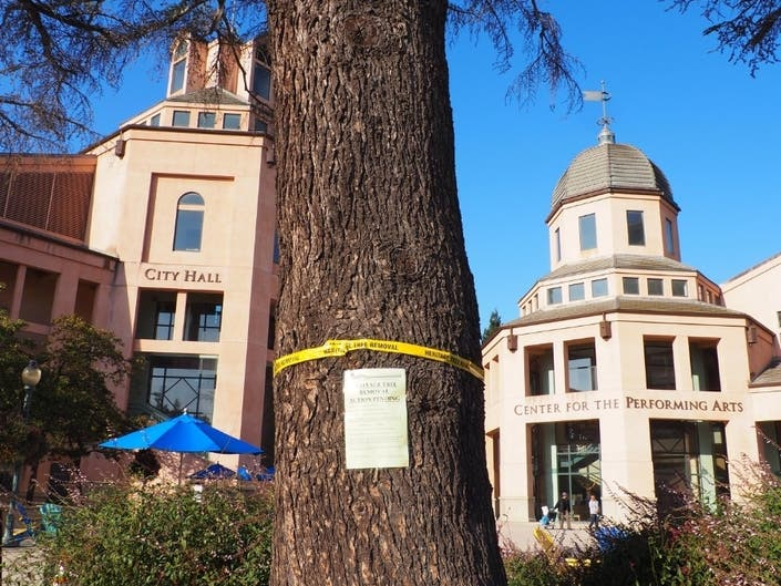 Cedar Tree In Civic Center Plaza To Be Removed