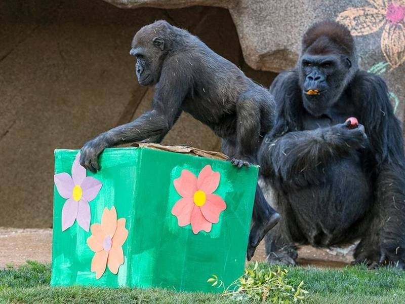 Help Celebrate Gorilla Joannes 5th Birthday At Safari Park