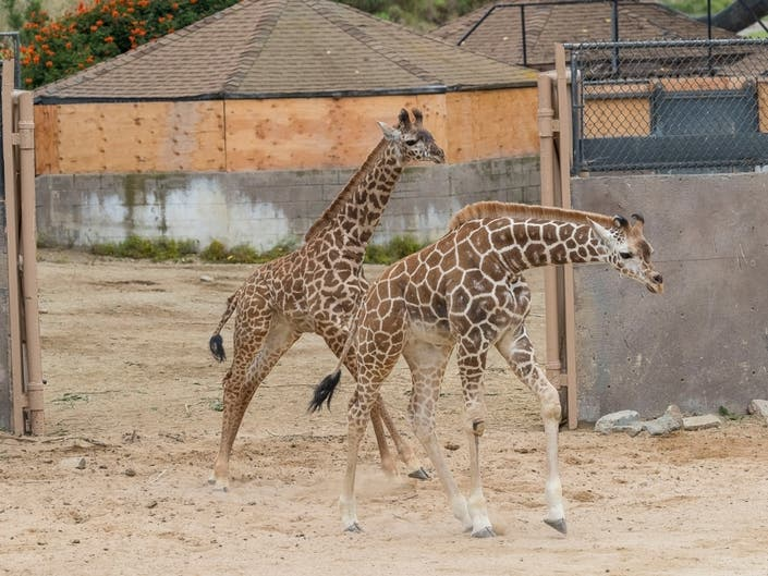 2 Male Giraffe Calves Mix With Herd For First Time At Safari Park