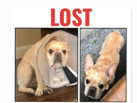 French Bulldog Benny Missing In Foster City