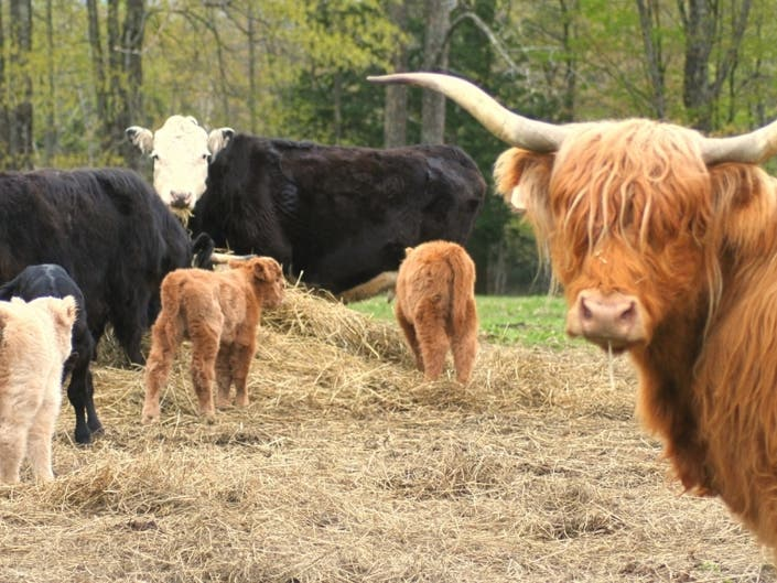 Bovine babysitters give Mom a break