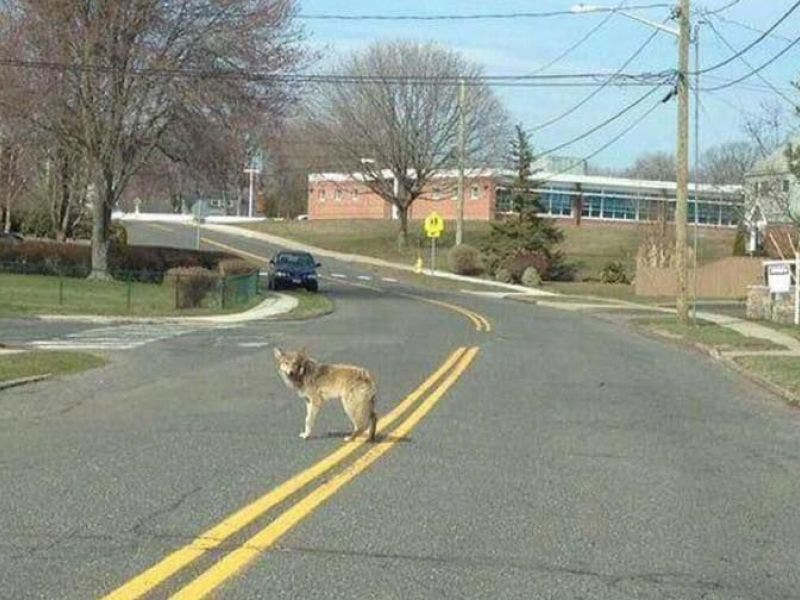 Coyote Spotted In Milford Milford Ct Patch