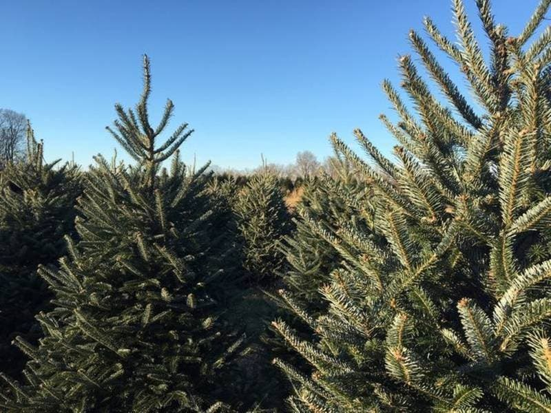 Here Is The Best Christmas Tree Farm In Connecticut