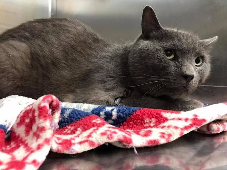 Injured Cat S Owner Sought Middletown Animal Control
