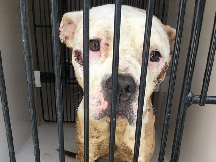 Man Kept Pit Bull Locked In Cage In Dark Basement: SPCA