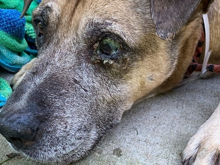 Woman Left Injured Pit Bull With No Water, Shelter: SPCA