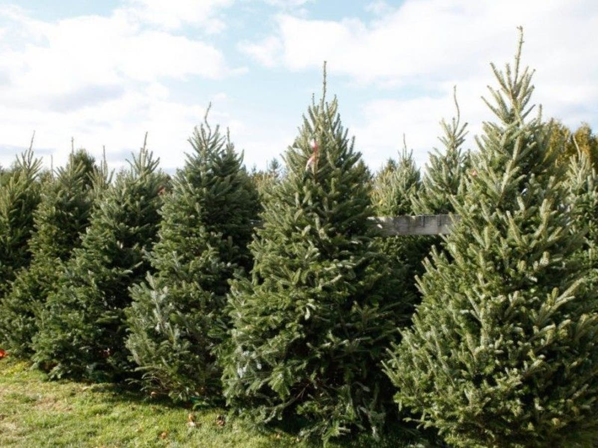 Cut Down Christmas Tree Near Me.Where To Cut Your Own Christmas Tree In Montgomery County