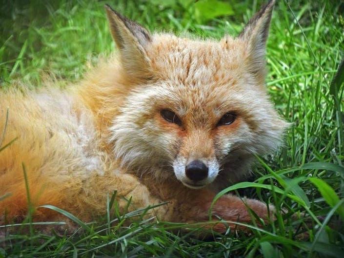 Elmwood Zoos Red Fox Taken Off Display, Receiving Treatment