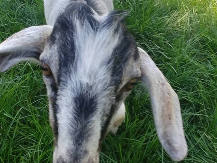 Goat Yoga Coming Up At Doylestown Area Farm