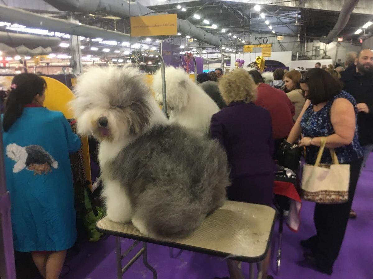 Faaqidaad : Old english sheepdog puppies florida
