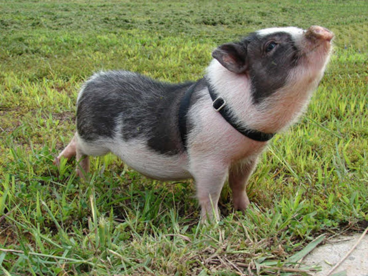 Heads Up, Piglet. Potbelly Pigs Now Allowed As Pets In ...