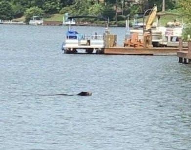 Bear Spotted Taking A Dip In Metro Atlanta Lake | Patch PM