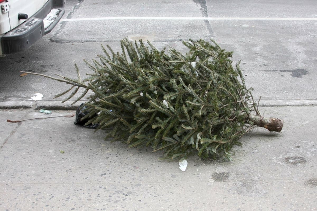 Bugs In Christmas Trees.Invasive Bugs Could Be Hiding In Nyc Christmas Trees