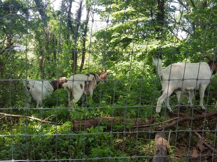 Riverside Parks Weed-Eating Goats Get To Work
