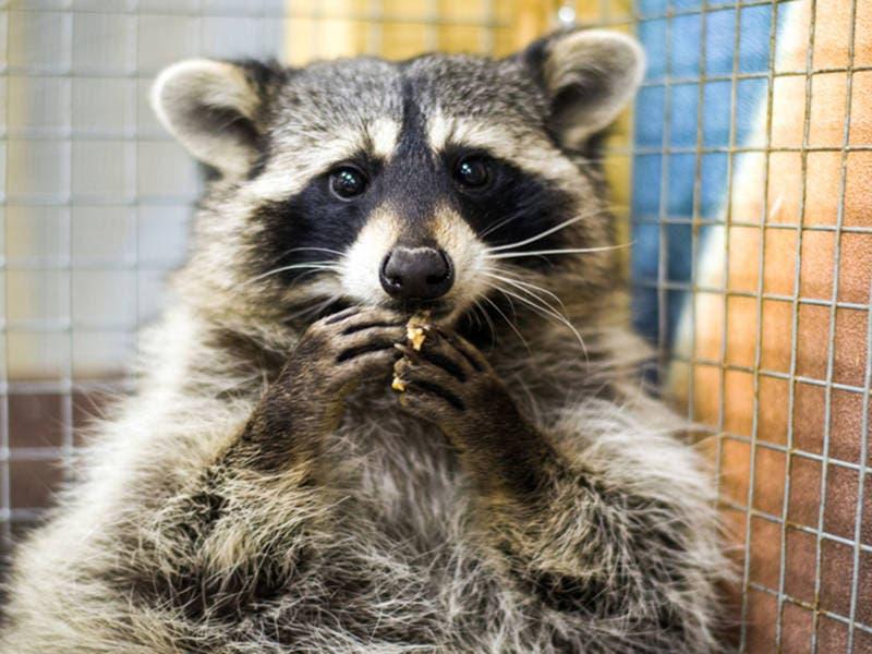 Dog Kills Rabid Raccoon In Old Bridge Backyard Matawan Nj Patch