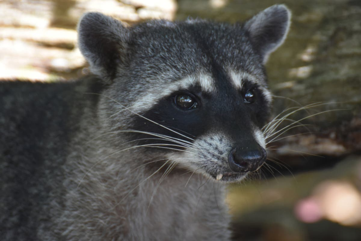 Raccoon Dies Of Rabies In South Brunswick Backyard | South ...