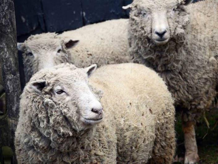 Check Out Sheep Shearing In Holmdel April 27/28