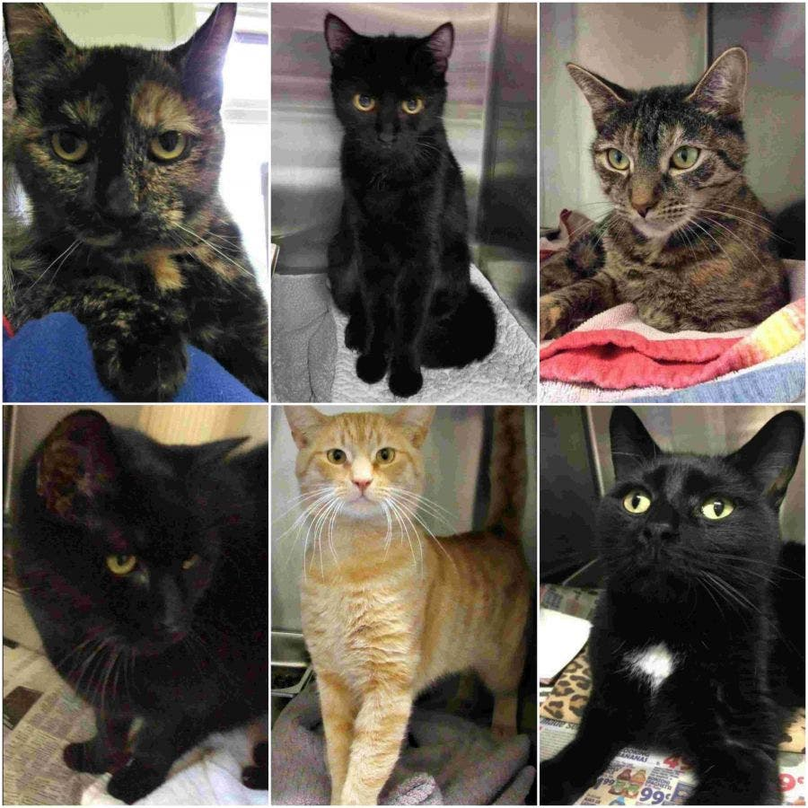 6 Cats Available For Adoption In Somerset County