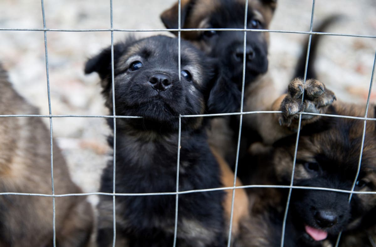 Puppy Laundering Ring Has Ties To Shake A Paw Pet Stores