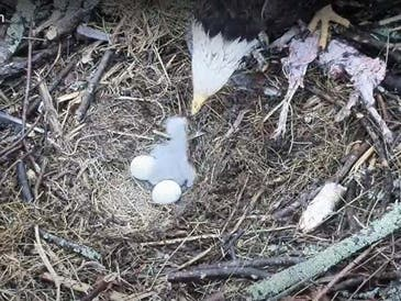 The first baby bald eagle of the season hatched at Duke Farms in Hillsborough and now locals are tuning into the live video to watch as the other two chicks are expected to hatch in the coming days.
