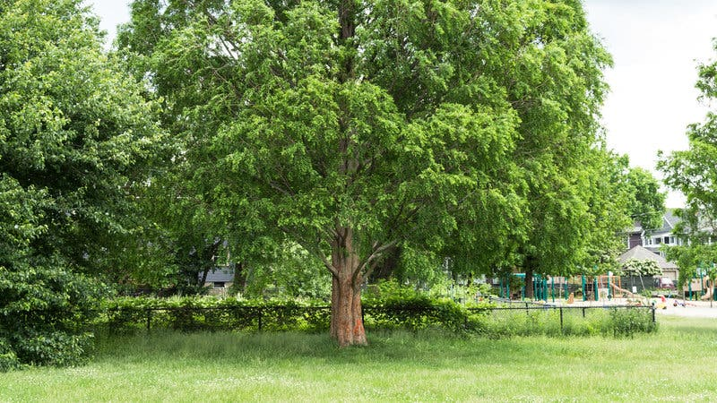Redwood Tree To Remain In Magnolia Park During Renovation