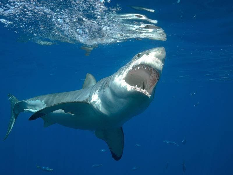 Sharks Drive Swimmers From Ocean, But Not Tourists From Cape