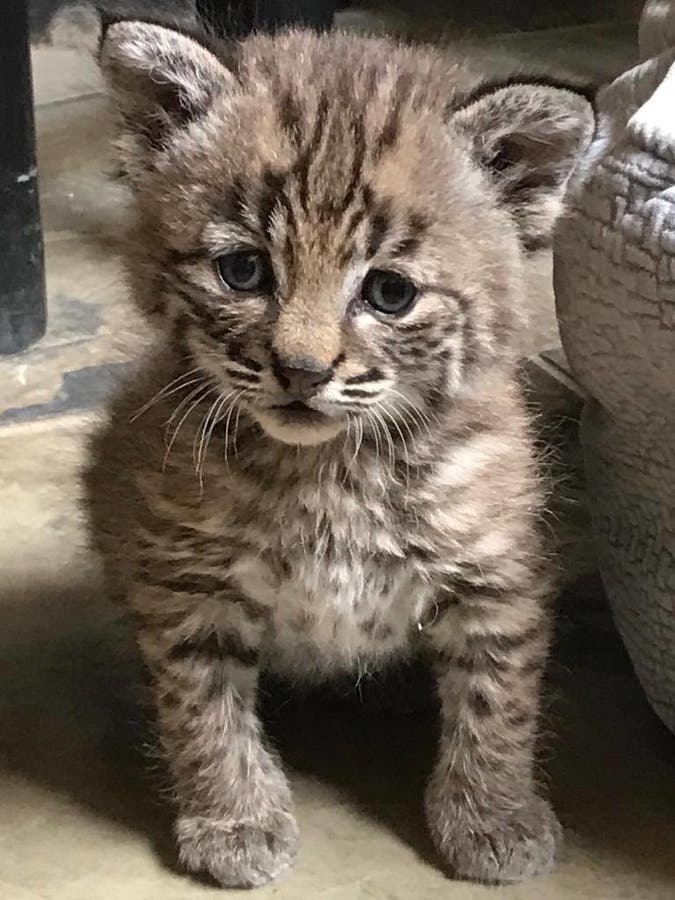Bobcat Kitten Rescued at Community Pool Sparks Wildlife ...