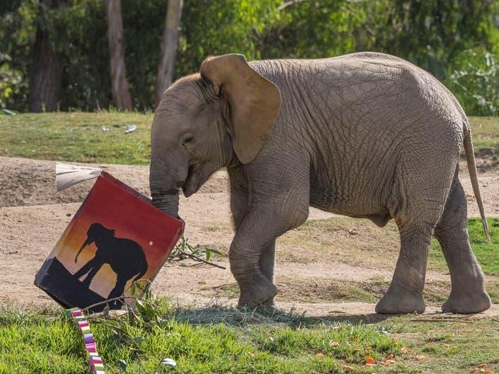 San Diego Zoo Safari Park Celebrates Elephants 1st Birthday
