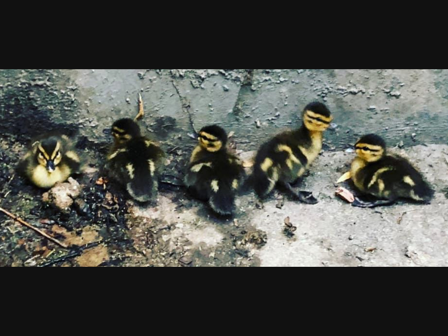 Mama Duck Reunited With Babies Trapped In Storm Drain
