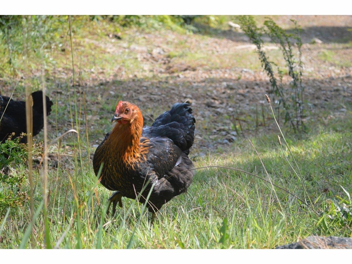 Backyard Chickens Linked To Salmonella: Calif. Health Dept ...