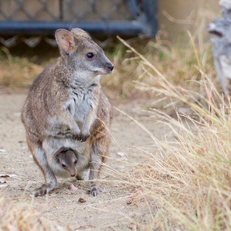 Endangered Parma Wallaby Born In San Jose | Milpitas, CA Patch