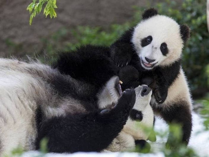 San Diego Zoo Extends Panda Celebration By 2 Extra Days