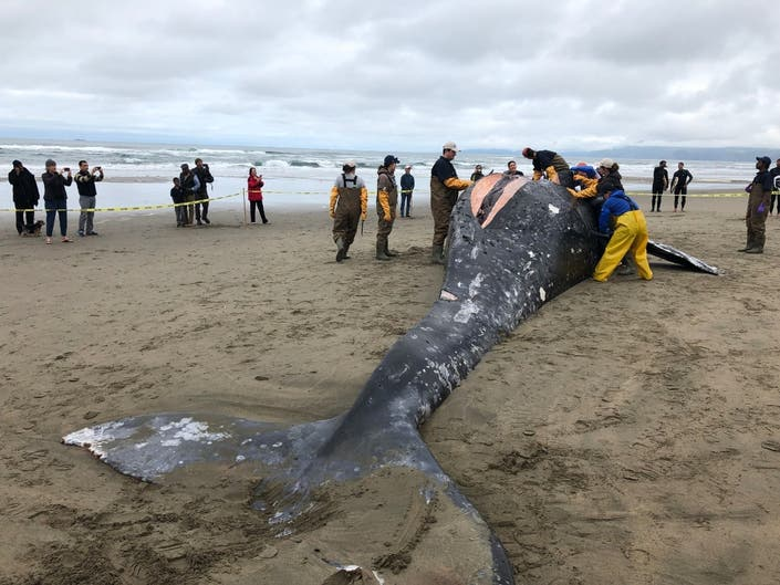 Female Gray Whale Washes Ashore In Bay Area