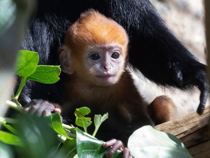 Rare (And Adorable) Monkey Born At San Francisco Zoo