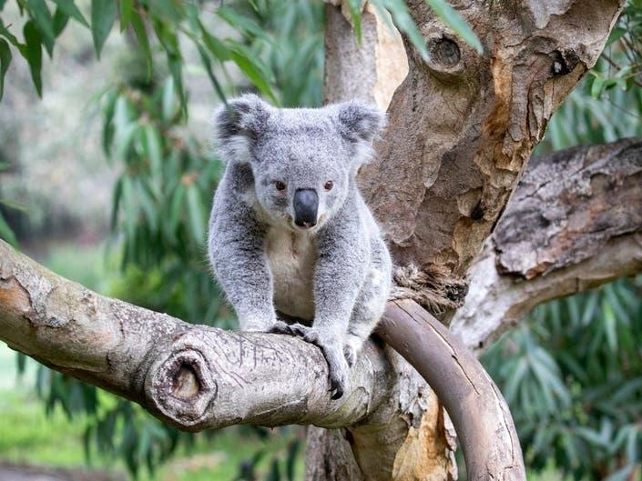 Zoo Koala Naming Contest Will Benefit Australia Wildlife