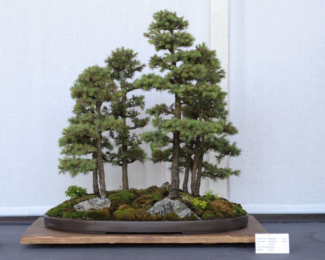 Free Bonsai Society Exhibit At Boerner Botanical Gardens Sept 16 18 Greendale Wi Patch