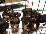 Litter Of Puppies Up For Adoption At Waukesha HAWS